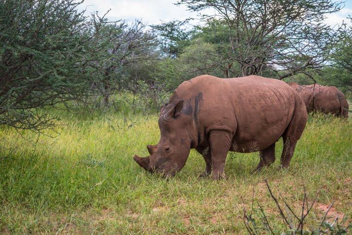 Rhinocéros blanc le Parc National-de-Waterberg Plateau Namibie