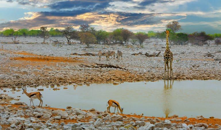 Trou d'eau dans le Parc National Etosha girafes et Impala